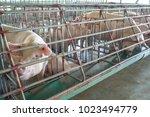 the pigs in the farm. swine in... | Shutterstock . vector #1023494779