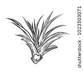 air plant tillandsias cactus... | Shutterstock .eps vector #1023503071