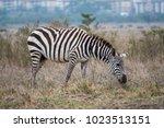 zebra grazing with buildings... | Shutterstock . vector #1023513151
