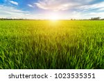 Beautiful Green Cornfield With...