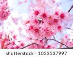 wild himalayan cherry blossoms... | Shutterstock . vector #1023537997