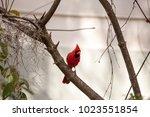 male red northern cardinal bird ... | Shutterstock . vector #1023551854
