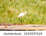 great egret  ardea alba   Shutterstock . vector #1023557629