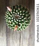 mammillaria cactus  cactaceae ... | Shutterstock . vector #1023563611