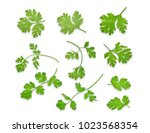 green coriandrum sativum leaves ... | Shutterstock . vector #1023568354