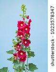 Beautiful Hollyhock Flower In...