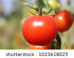 close up fresh red tomatoes... | Shutterstock . vector #1023618025