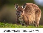 a western grey kangaroo ... | Shutterstock . vector #1023626791