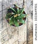 Small photo of Astrophytum ornatum cactus, cactaceae, succulent