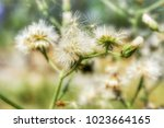 a beautiful vernonia cinerea or ... | Shutterstock . vector #1023664165