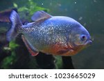 Big piranha fish as danger in...