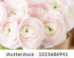 persian buttercup. bunch pale... | Shutterstock . vector #1023686941