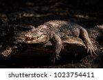 Crocodile Salt Sun Bath To Cool