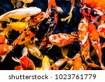 Small photo of Carp, Cyprinidae Multi colored fish in the pond