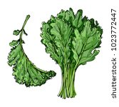 Kale. The Greens Drawn By A...