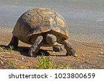 Leopard Tortoise Walking Next...