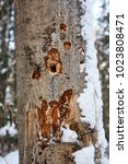 Small photo of woodpecker holes in old asp tree