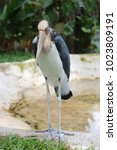 Small photo of Lesser adjutant stork of tropics bird in the outdoor nature.