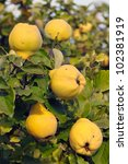 Quince Tree Growing In The...