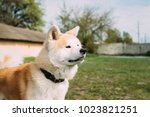 akita dog or akita inu ...   Shutterstock . vector #1023821251