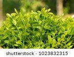 melientha suavis pierre in the... | Shutterstock . vector #1023832315