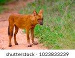 indian wild dog  cuon alpinus ... | Shutterstock . vector #1023833239