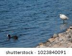 little egret  egretta garzetta ....   Shutterstock . vector #1023840091
