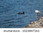 little egret  egretta garzetta  ...   Shutterstock . vector #1023847261