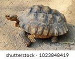 sulcata tortoise walking on the ... | Shutterstock . vector #1023848419