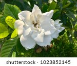 Small photo of Beautiful big gardenia flower green leaves background