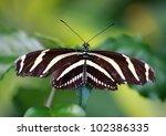 Zebra Longwing Tropical...
