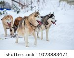 Breed Husky Sled Dogs In The...