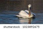 dalmatian pelican  pelecanus...   Shutterstock . vector #1023892675