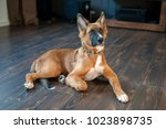 redhead mexican hairless dog in ... | Shutterstock . vector #1023898735