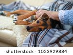 Stock photo pet dog jack russell terrier 1023929884
