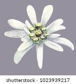 edelweiss flower. handmade... | Shutterstock . vector #1023939217