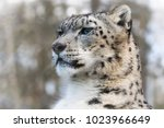 alert and watchful adult snow... | Shutterstock . vector #1023966649