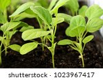 seedlings of eggplant close up. ... | Shutterstock . vector #1023967417