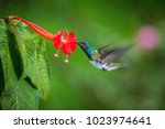 the hummingbird is hovering and ... | Shutterstock . vector #1023974641
