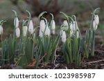 snowdrop spring flowers....   Shutterstock . vector #1023985987
