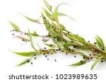 job's tears   coix lachryma... | Shutterstock . vector #1023989635