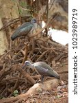 Small photo of two hadada or hadeda ibis, Bostrychia hagedash, sitting on branches near the river looking for food