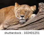 Close-up view of a resting female lion (Panthera leo) - stock photo
