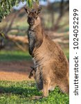 a western grey kangaroo with...   Shutterstock . vector #1024052299