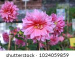 Beautiful Pink Dahlia Flowers...