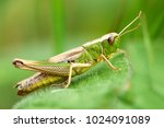 Meadow Grasshopper  Grasshopper