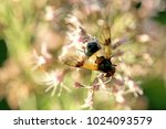 Small photo of Pellucid Fly, Volucella pellucens