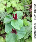 Small photo of Red hued Trillium