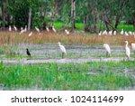 huge flock of great white...   Shutterstock . vector #1024114699
