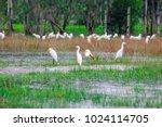 huge flock of great white...   Shutterstock . vector #1024114705
